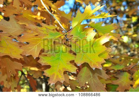 Autumn time in October. Quercus palustris, the pin oak or swamp Spanish oak, is an oak in the red oa