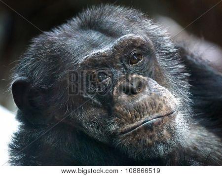 Common Chimpanzee (pan Troglodytes)