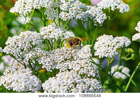 Medicinal plant Siberian Yarrow (Achillea millefolium)