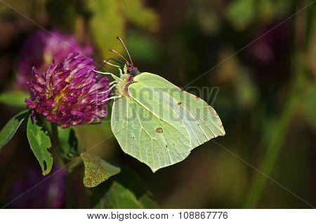 Light butterfly on a flower of clover.