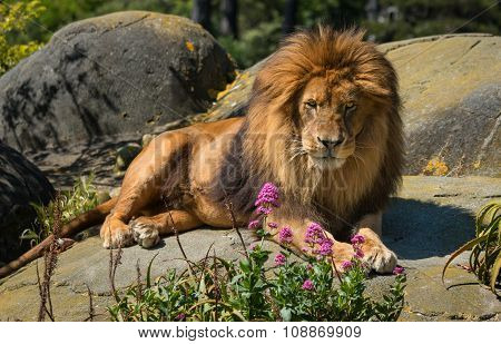 Lion Rest Rock