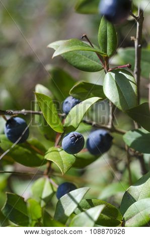 Ripe Berries Of Black Myrtle In Branches Of The Plant In Sunny Day