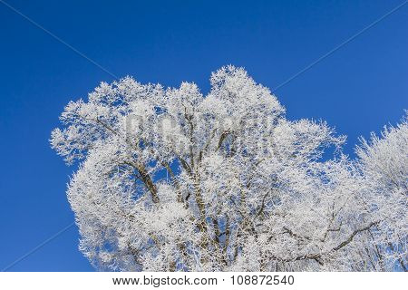 White Winter Wonderland With Blue Sky And Huge Frozen Tree