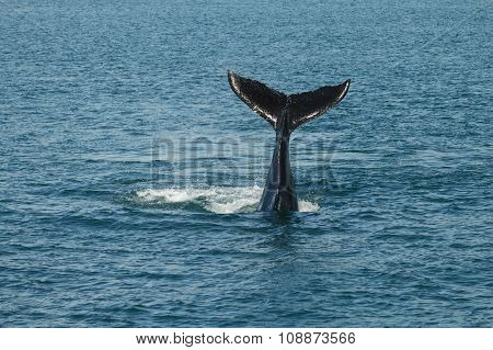 A Young Humpback Whale (megaptera Novaeangliae) Waves Its Tail Fluke Out Of The Atlantic Ocean.