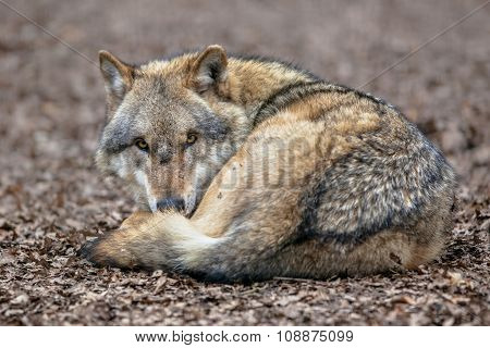 Dangerous Grey Wolf Resting On The Ground