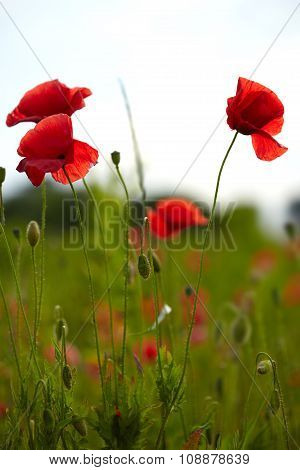 Beautiful poppies on the meadow