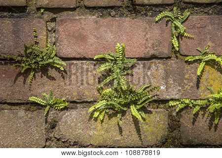 Maidenhair Spleenwort On A Brick Wall