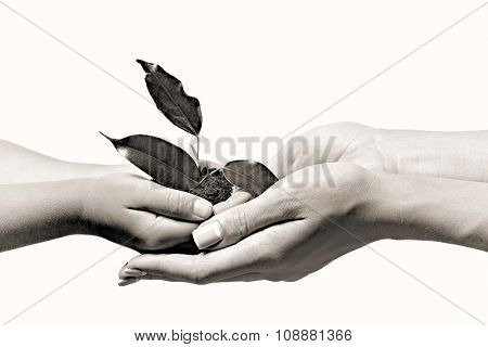Female and child handfuls with soil and small green plant, black and white retro stylization