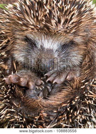 Young Hedgehog Close Up