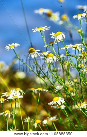 chamomile flowers on a background of blue sky