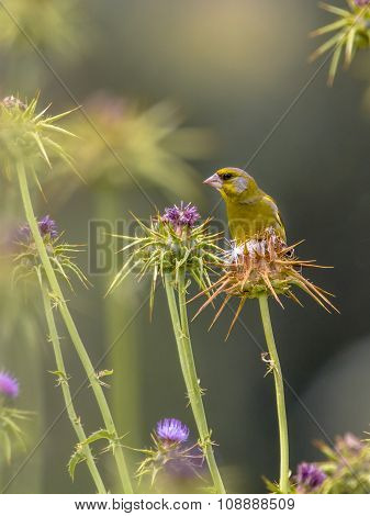 Greenfinch Eating The Seeds Of Thistle