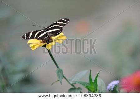 A tiger butterfly on a margarita