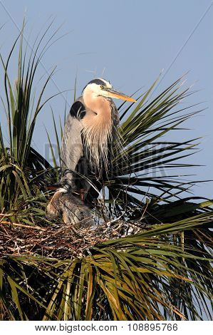 Great Blue Heron With Babies In A Tree