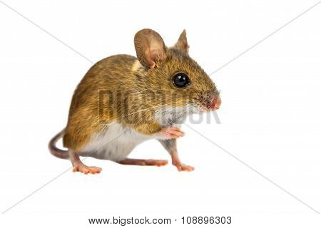 Cut Out Field Mouse