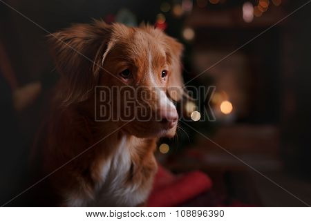 Nova Scotia Duck Tolling Retriever Holiday,