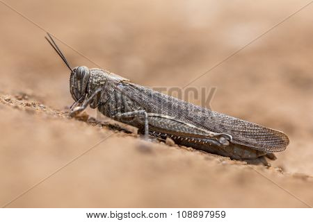 Migratory Locust On Neutral Background