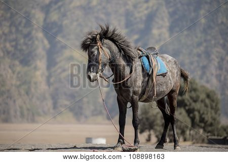 Close up Horse from Bromo Mountain Java ,Indonesia.