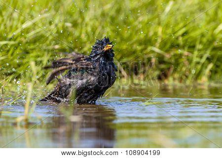 European Starling Washing