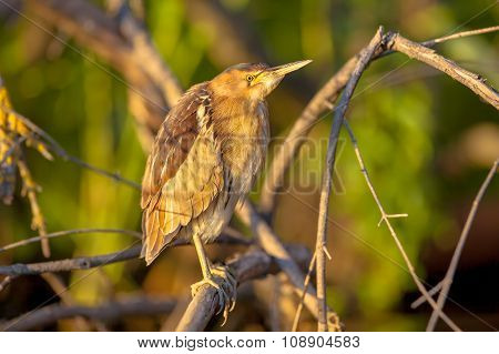Little Bittern Perched On A Branch