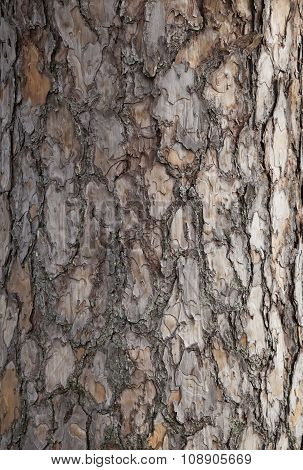 Pine tree bark background. Old tree trunk detail texture as natural background.