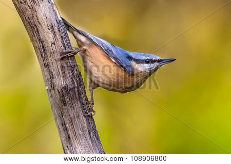 Eurasian Nuthatch Clinging