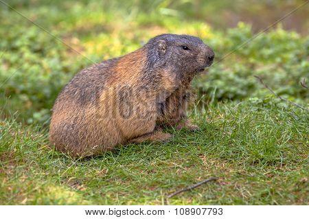Alpine Marmot In Field