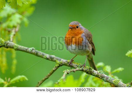 Robin Perched On A Flowering Oak Branch