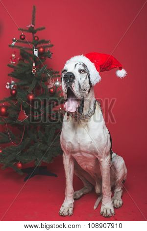 Huge German Dog wearing Santa hat with Christmas over red background. Studio shot.