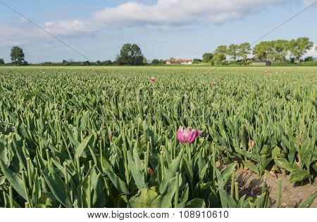 Tulip Field After Cutting Off The Flowerheads