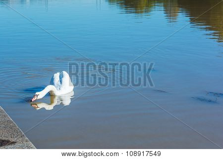 The swan on the Po River in Turin
