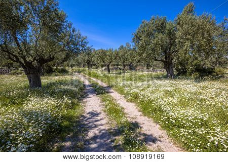 Stone Path Through Olive Grove