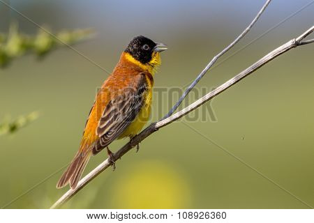 Singing Black Headed Bunting