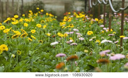 Colorful daisies in grass field, garden of daisy flower, flower background