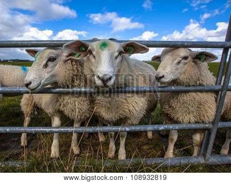 Texel Sheep Watching