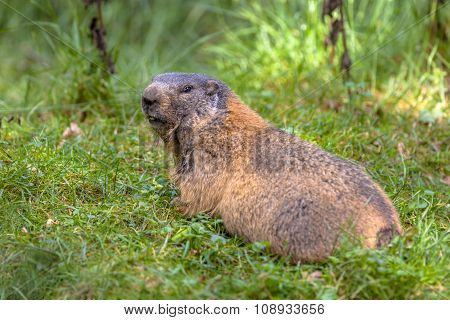 Alpine Marmot Looking Backward