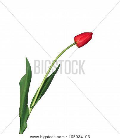 Single Fringed Red Tulip Isolated