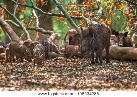 Family Of Wild Boar By Tree