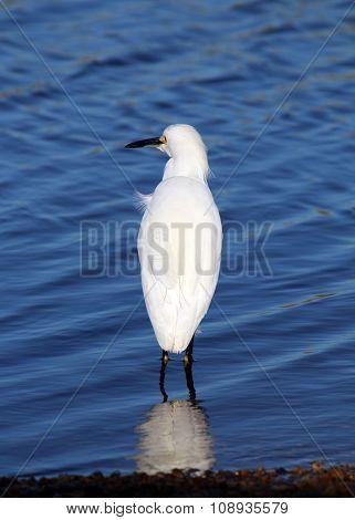 Snowy egret back