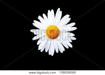 White Daisy Flower On Black Background.