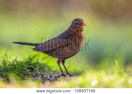 Female Common Blackbird Green Background