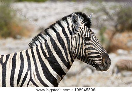 Portrait Of A Beautiful Zebra