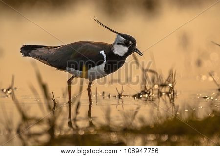 Back Lit Male Northern Lapwing
