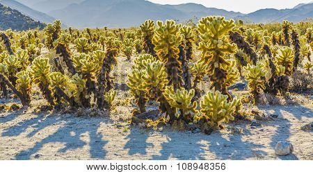 Beautiful Cholla Cactus Garden In Joshua Tree National Park