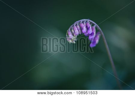 Curved Purple Wildflower