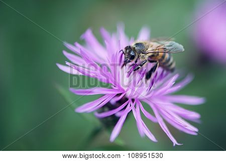 Bee on a a Purple Wildflower