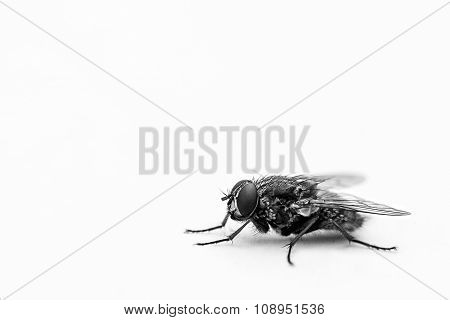 Black and White Fly