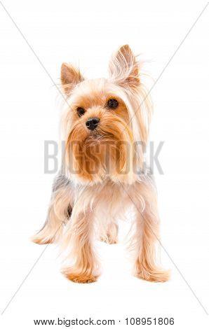 Portrait of a Yorkshire terrier