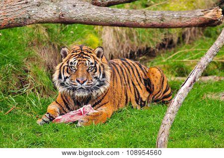 Tiger Having Lunch