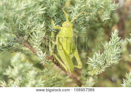 Grasshoppers Remaining In A Plant, Acrididae