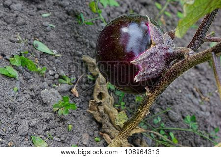 Eggplant in the garden.